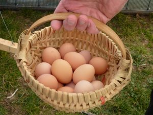 Black Australorp Eggs