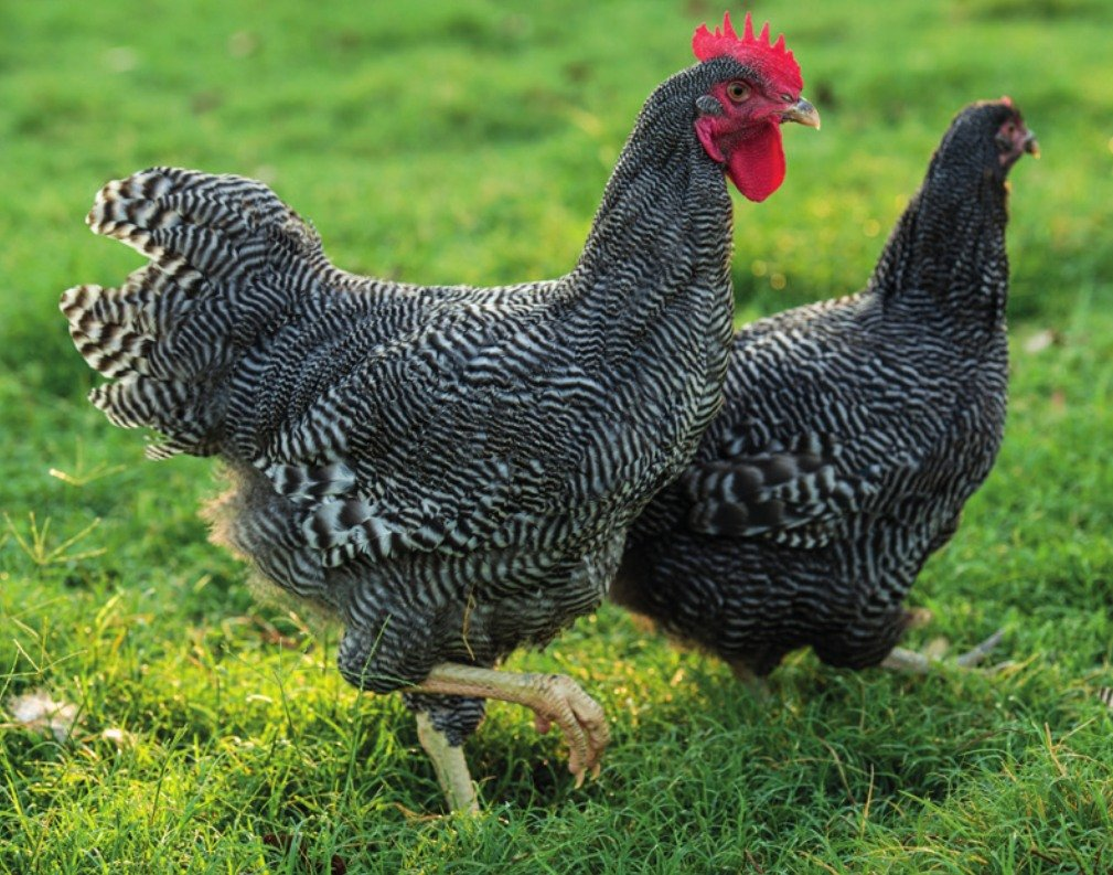 Barred Rock Chickens - Claborn - 220.1KB