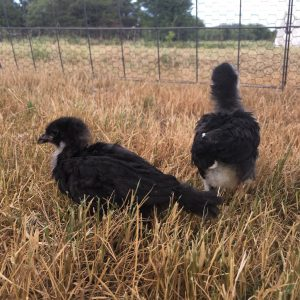 Started Pullets for Sale - Claborn Farms