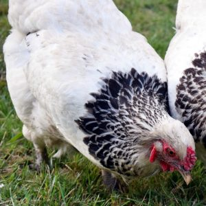 Light Brahma Laying Hen